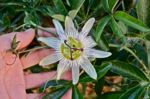 Passiflora spp., Greece