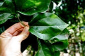 Strychnos spp. leaf, vietnam