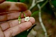 T. iboga, flower
