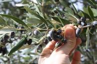 Olive, Mani