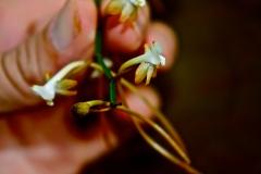 Orchidaceae, Summerhayesia laurentii