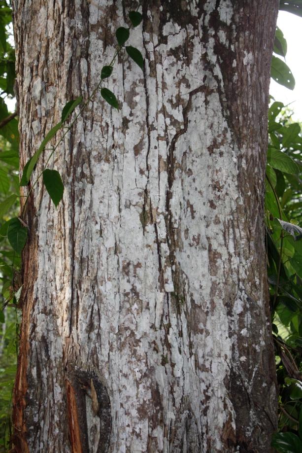 Sterculiaceae, Cola acuminata, Gabon