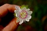 Passifloraceae, Passiflora foetida, flower, Gabon