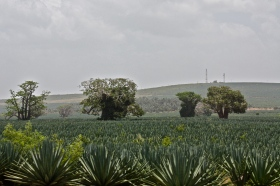Sisal and Baobab, Kenya