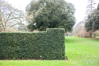 Ilex hedge, Kew