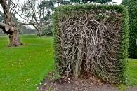 Ilex hedge, Kew