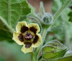 Physalis peruviana, flower closeup