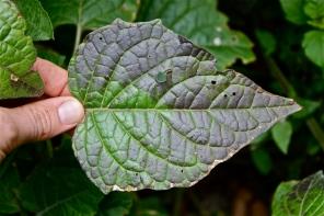Physalis leaf