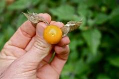 Physalis peruviana, fruit