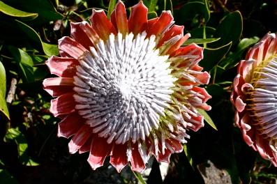 Protea cynaroides, UC Botanical Garden