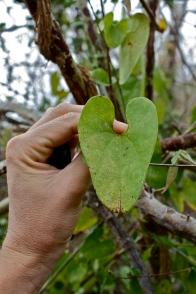 Aristolochia, leaf, Jalisco