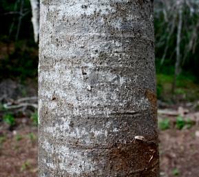 Jacarantia mexicana, Bonete, trunk