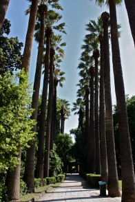 Washingtonia filifera, Zappio park, Athens