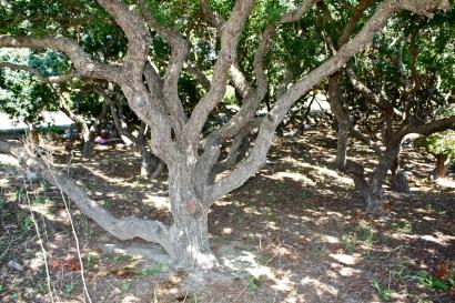 Pistachia lentiscus, trunk, Chios, Greece
