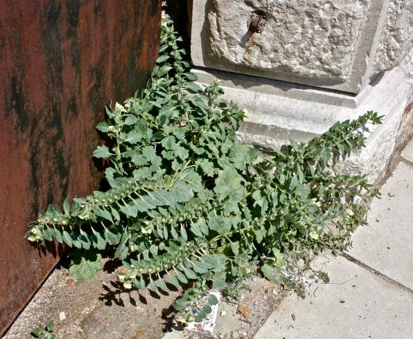 Solanaceae, Hyoscyamus albus