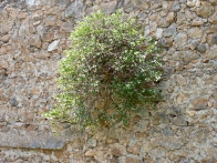 Capparis spinosa, on wall, greece