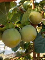 Persimmons, August, Greece