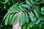 Anonaceae, Artabotrys hexapetalus, leaf