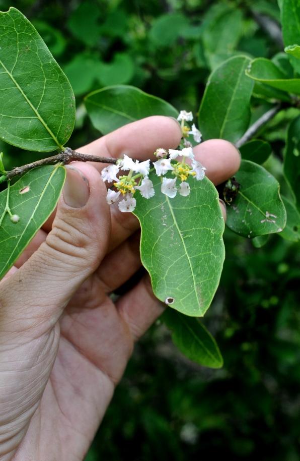 Malpighiaceae flower, Jalisco