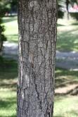 Koelreuteria paniculata, trunk