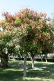 Koelreuteria paniculata, tree