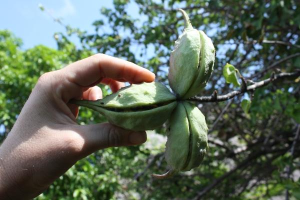 Sterculia africana, seed pod, fruit