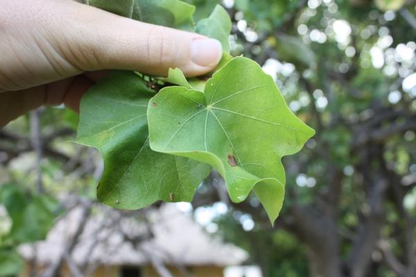 sterculia africana, leaf