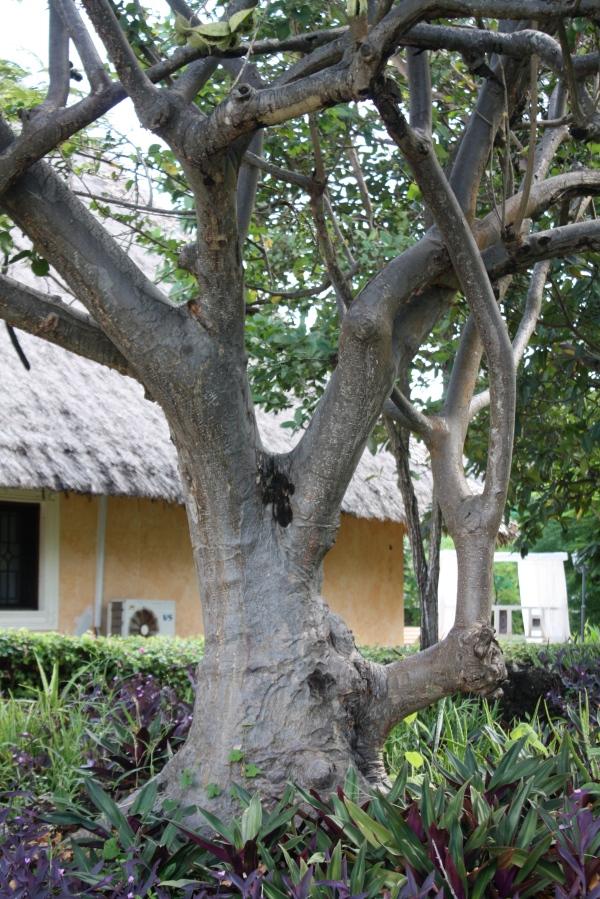 sterculiaceae, sterculia africana, trunk, tree