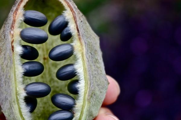 Sterculia africana, seedpod