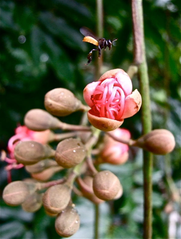 bee alighting on Eperua falcata flower