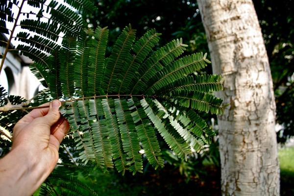 Leguminosae - Mimosoideae, Parkia bicolor, leaf