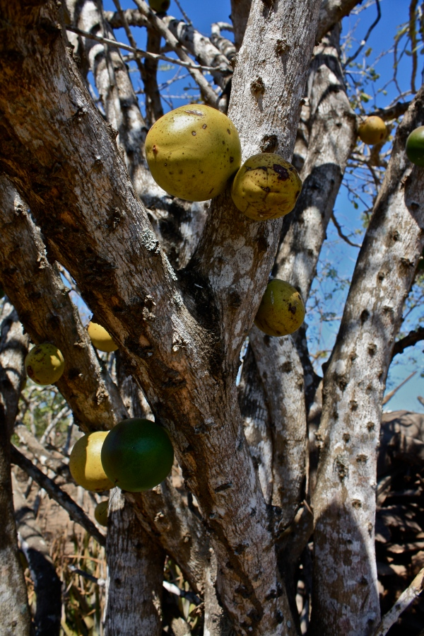Crescentia alata, trunk, fruit