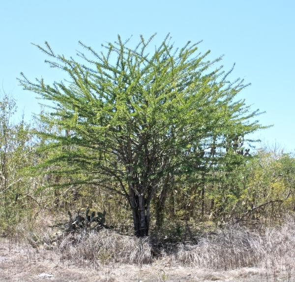 Crescentia alata, tree
