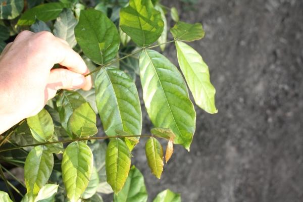 Swetienia humilis, leaf