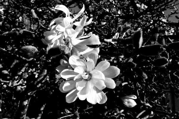 Magnolia stellata. b&w