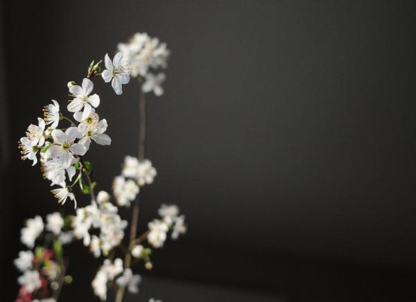 Prunus americana flower