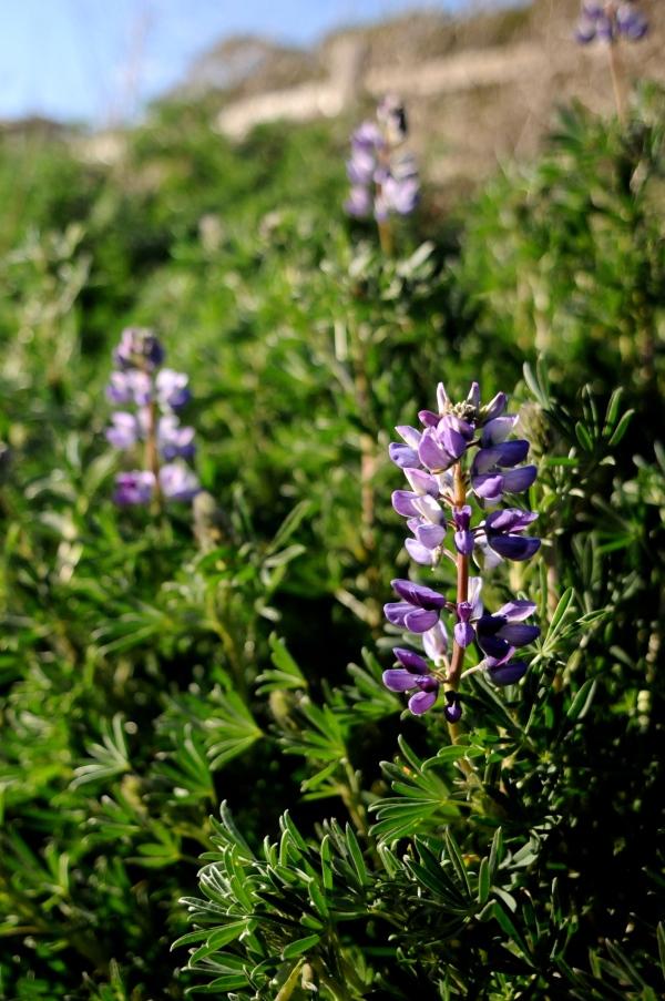 Lupinus arboreus, flower