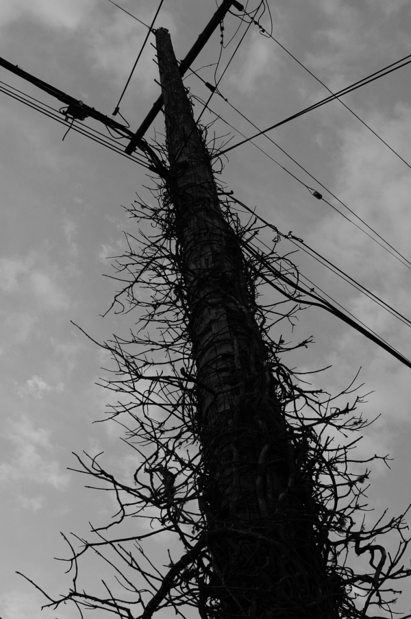 Formerly vegetated telephone pole, berkeley, California