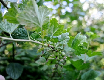 gooseberry Grossulariaceae
