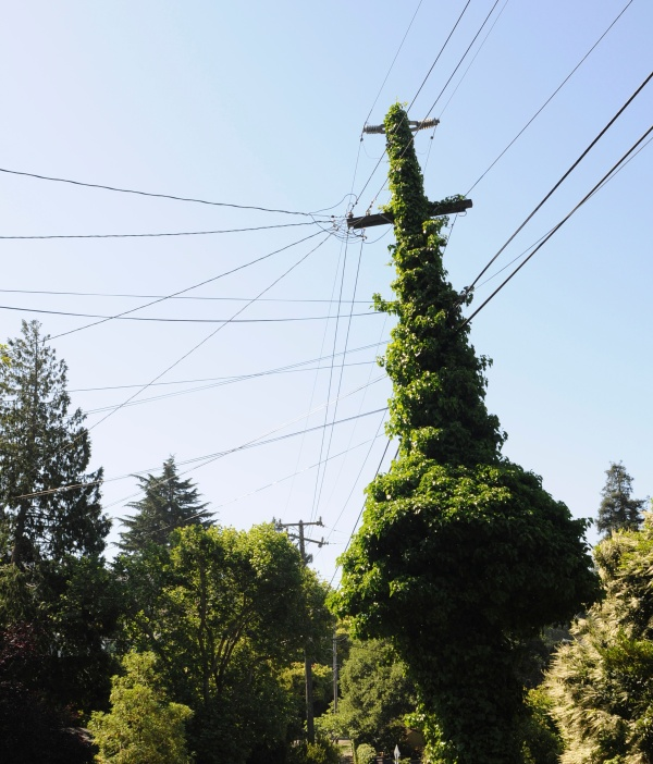 ivy telephone pole