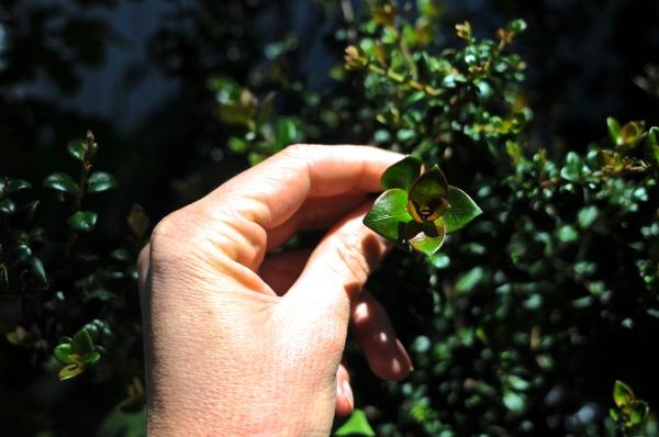 Ugni molinae, Myrtaceae