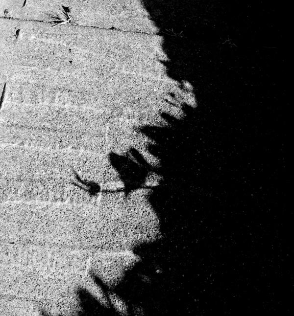 Hedera helix shadow