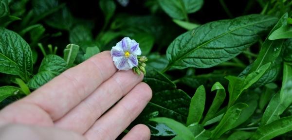 Solanum muricatum, Solanaceae, pepino