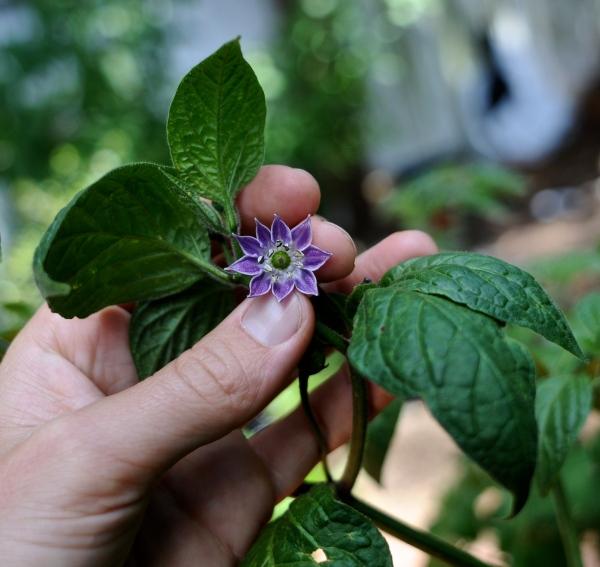 capsicum pubescens, rocoto, flower, solanaceae