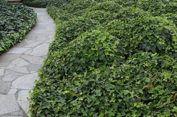 ivy mounds
