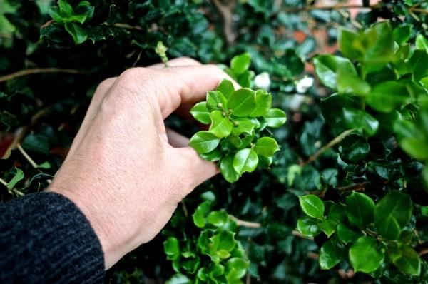 Luma apiculata, arrayan
