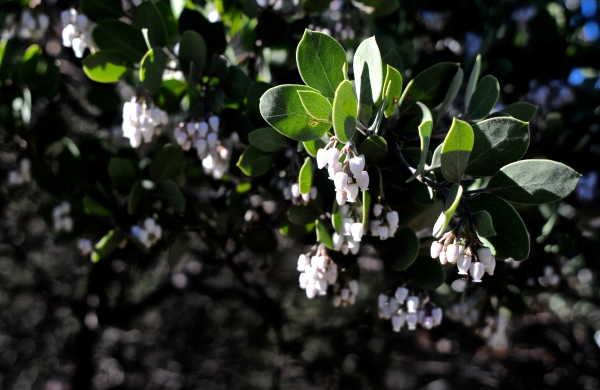 Arctostaphylos densiflora leaf, flower