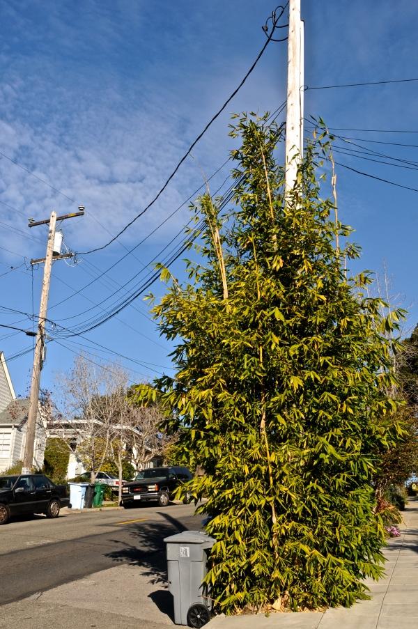bamboo colonizing telephone pole