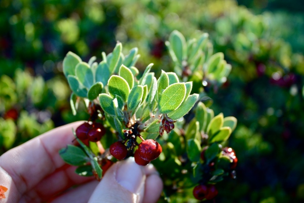 Arctostaphylos hookeri ssp. montana