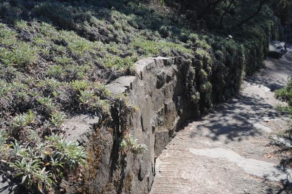 Salvia sonomensis on wall, berkeley, CA